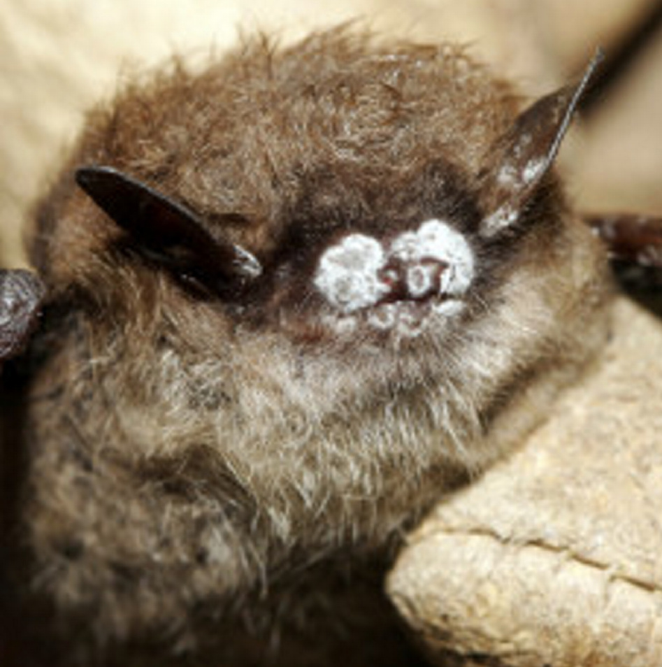 This little brown bat in New York had the telltale signs of white-nosed syndrome.