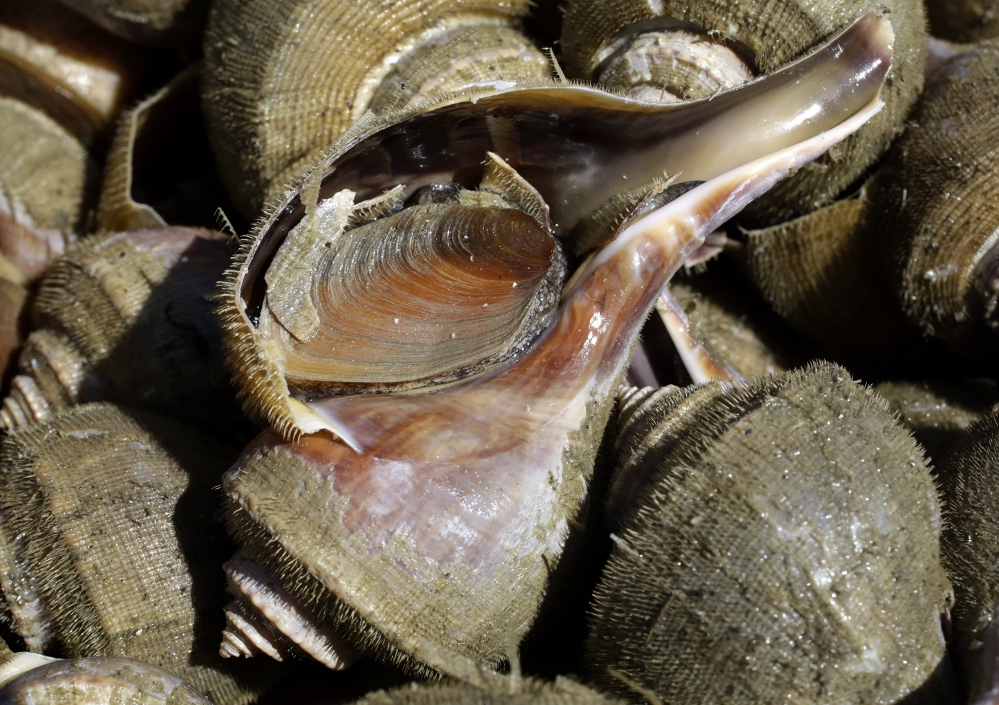These snails caught off of Rhode Island command good prices as demand for them grows, particularly in Asia..