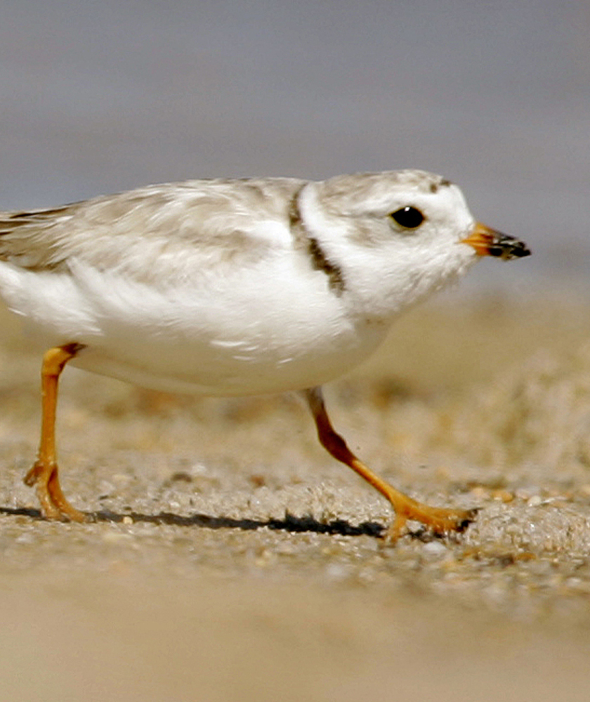 While Massachusetts will still protect the piping plover, beach towns can seek mitigation if they feel conservation measures are overly restrictive.