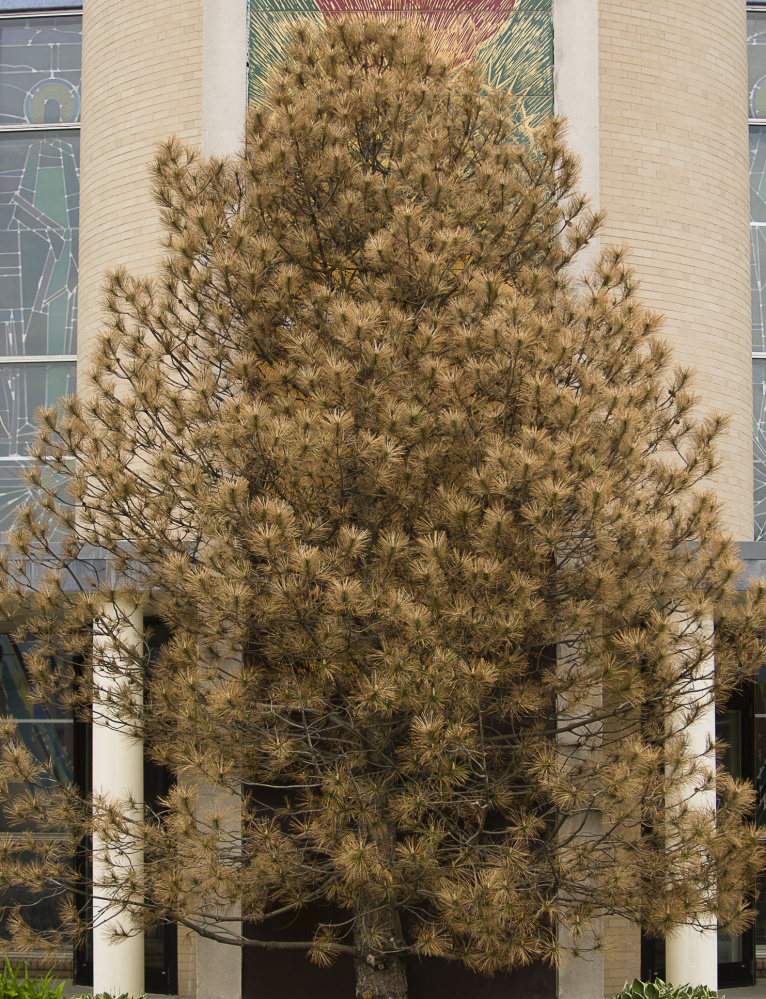 The evergreen tree blocking the Jesus mural outside Holy Cross Catholic Church was brown and in trouble in May.