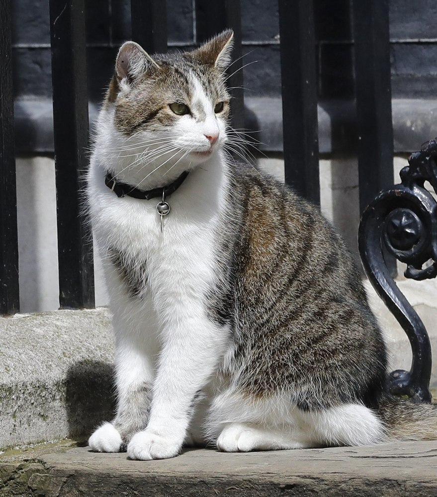 Larry sits on the steps of 10 Downing St. in London after Prime Minister David Cameron left to face questions Wednesday.