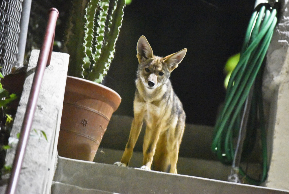 Looking not unlike an a decorative lawn ornament, a pup of a radio-collared coyote pauses on a porch in one of Los Angeles' densest neighborhoods that's among the areas where biologist Justin Brown, head of the L.A. Urban Coyote Project, electronically tracks the often-elusive wild dogs.