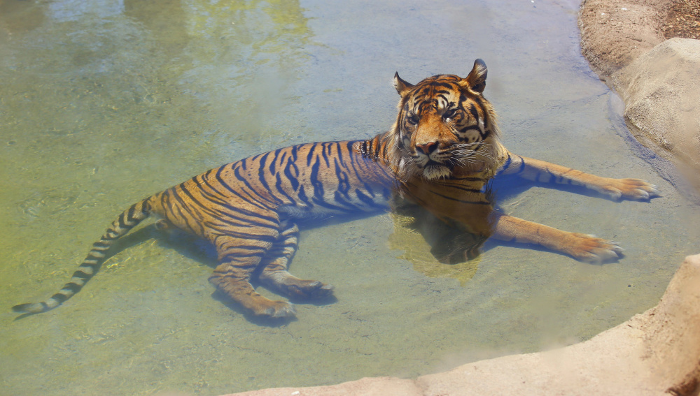 A Sumatran male tiger, Jai, cools off in a pool of water as temperatures climb to 106-degrees at the Phoenix Zoo Thursday, June 2, 2016, in Phoenix. Temperatures are expected to hit 117-degrees over the weekend in Phoenix. (AP Photo/Ross D. Franklin)