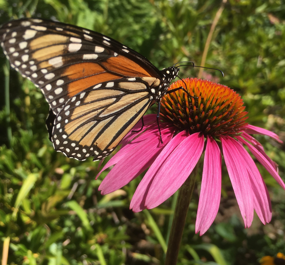 A monarch butterfly shows its attachment to a coneflower in Paul Wells' garden in West Kennebunk.