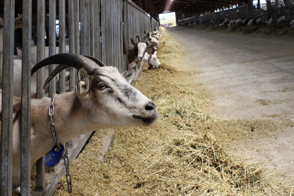 Dairy goats feed at LaClare Farms near Pipe, Wis. Larry and Clara Hedrich started raising dairy goats in the 1970s. They now milk about 800 goats and make award-winning cheese sought by chefs, immigrants and other consumers.