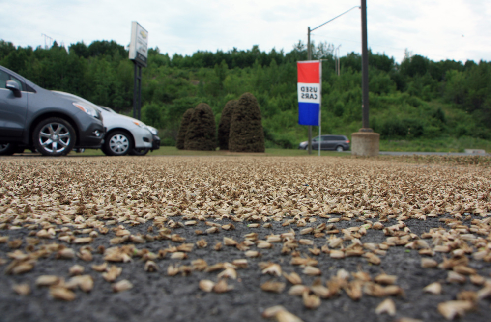 Spruce budworm moths cover a parking lot in New Brunswick, Canada.