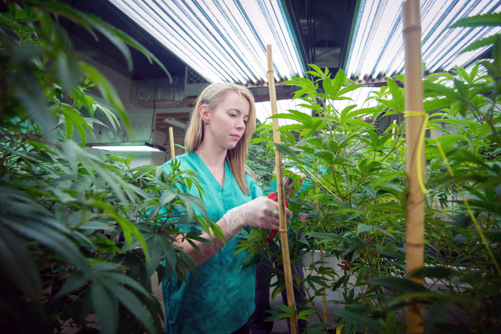 Stephanie Caron checks on a marijuana plant at Brigid Farm in Saco.