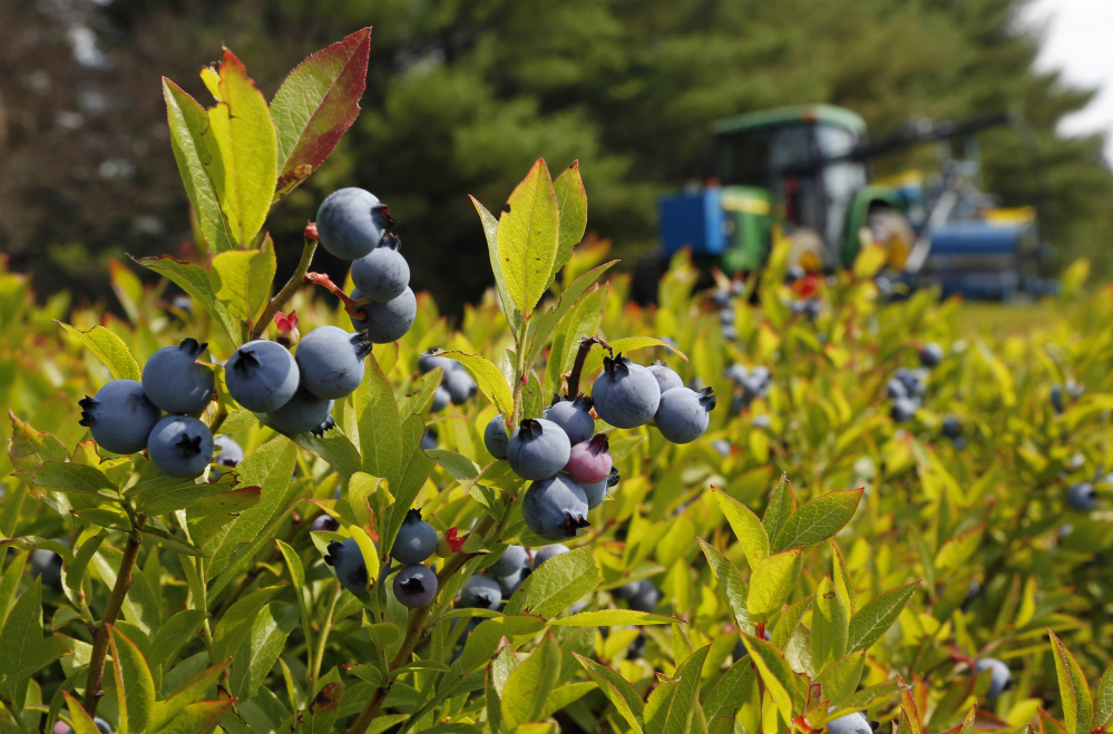 A blueberry harvester makes its way through a field near Appleton in 2015. Maine's blueberry crop isn't as big as last year's but still is much more than it averaged a decade ago.
