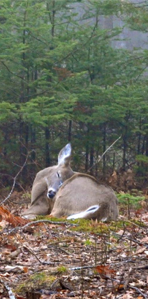 With hunting season still weeks away, this deer can nap in peace while Buzz Stultz of Belmont approaches with a camera, not a gun or bow.