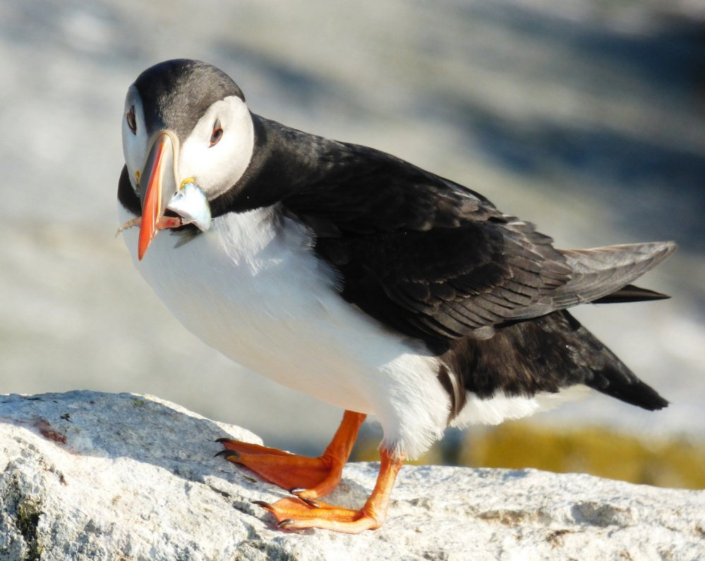 puffin in gulf of maine u0027s largest colony starve to death at