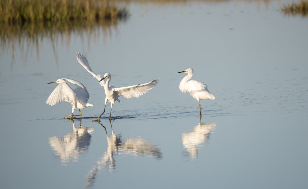 We're not sure which dance step the snowy egret in the middle was doing recently at Weskeag Marsh in South Thomaston, but it makes for an interesting photo, submitted by Hope Creighton of Thomaston.