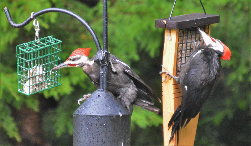 A couple pileated woodpeckers stop by each morning to draw me out of bed. They get all twisted over my suet here in one of my New Gloucester gardens.      Brian K Lovering