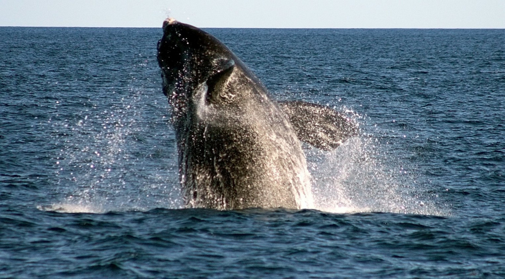 An endangered right whale breaches off Boothbay Harbor. Whales caught in heavy fishing nets can't move or feed as well.