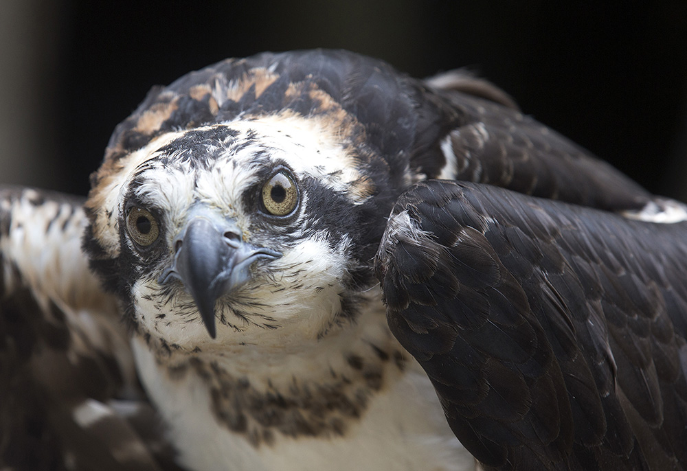 A captive osprey at the Squam Lakes Natural Science Center in Holderness, N.H., where a researcher is using solar-powered satellite transmitters attached to the backs of juvenile and adult ospreys to track the international migrations of birds nesting in the Northeast. Jim Cole/Associated Press