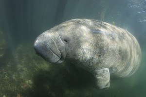 Manatees like this one cannot survive for long in waters colder than 68 degrees. Andrew Jalbert/Shutterstock