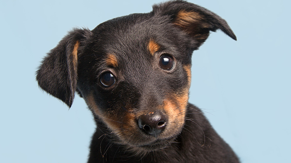 Dogs in the study only registered that they were being praised if the words and intonation were positive; meaningless words spoken in an encouraging voice, or meaningful words in a neutral tone, didn't have the same effect. Shutterstock