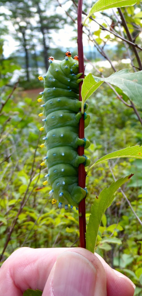 Bill Preis of Bridgton found a cecropia moth larva in his yard at Merryfield Cove in Bridgton. The caterpillar will eventually become a moth with a wingspan of 4 to 6.3 inches.