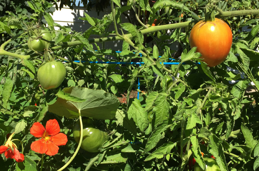 Tomatoes ripen Tuesday alongside nasturtiums in the garden that John Hychko and his wife, Shannon, grow without pesticides.