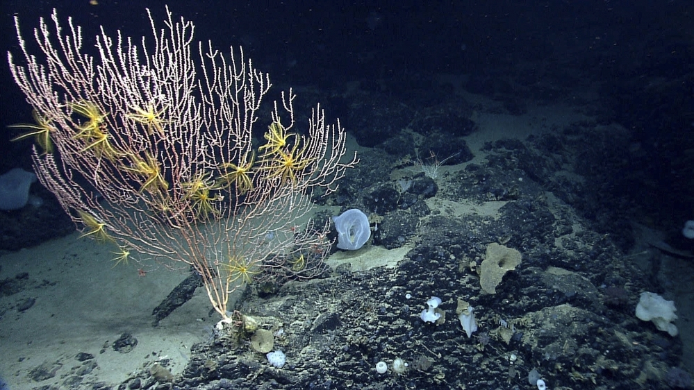 Corals will be protected on Mytilus Seamount off the coast of New England in the Atlantic Ocean under President Barack Obama's designation of the area as a national marine monument. Some fishermen, however, say the designation threatens their livelihoods.