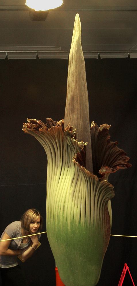 A corpse flower blooms in Laconia, N.H., in 2006. Darmouth's corpse flower is expected to be fully open Saturday and collapse on Sunday.