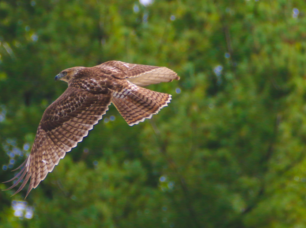 Jack McDonald of Biddeford sighted this hawk soaring above Pool Street and Bridge Road on his way to work.