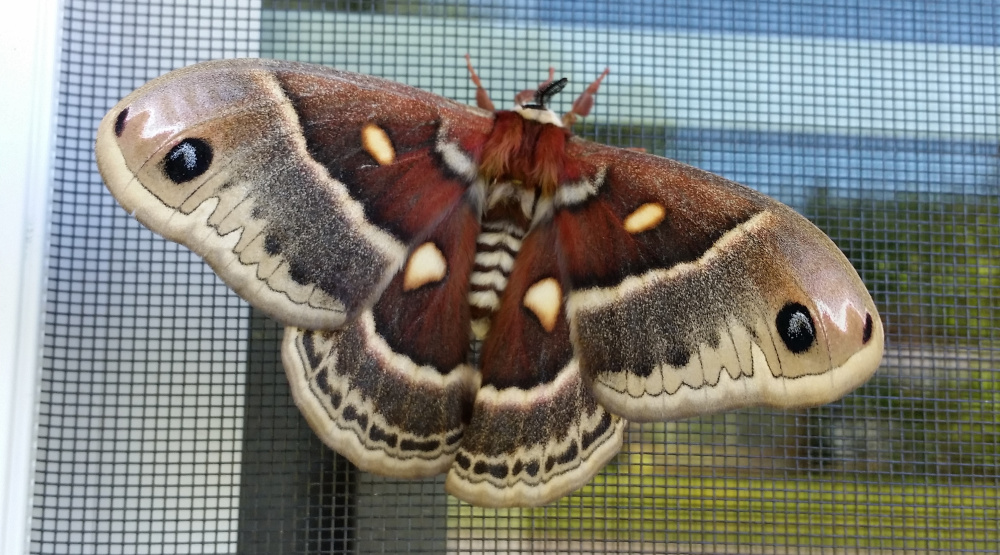 This large moth, likely a cecropia, alighted on Patrick Flynn's window in Skowhegan in June. The insect had about a 4-inch wingspan.