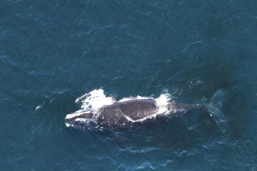 Whale 3694 swims in the Gulf of Maine in 2014. First spotted in 2006, she had been seen and identified 26 times.