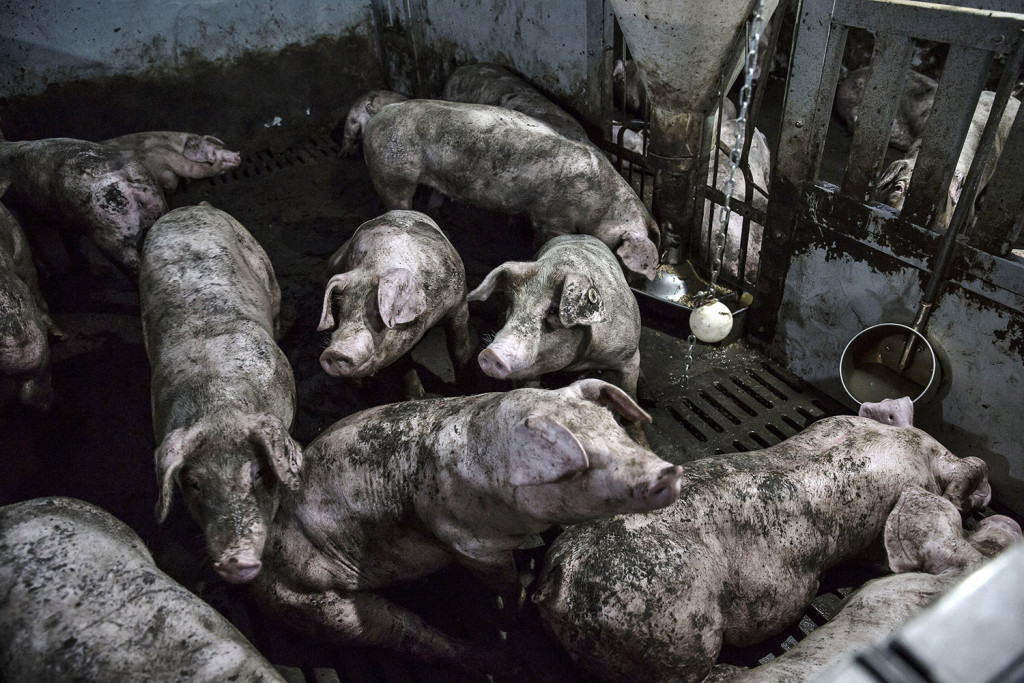 Mud-splattered pigs in a pen at the Jia Hua antibiotic-free pig farm in Tongxiang, China, on Sept. 15, 2016. Qilai Shen/Bloomberg