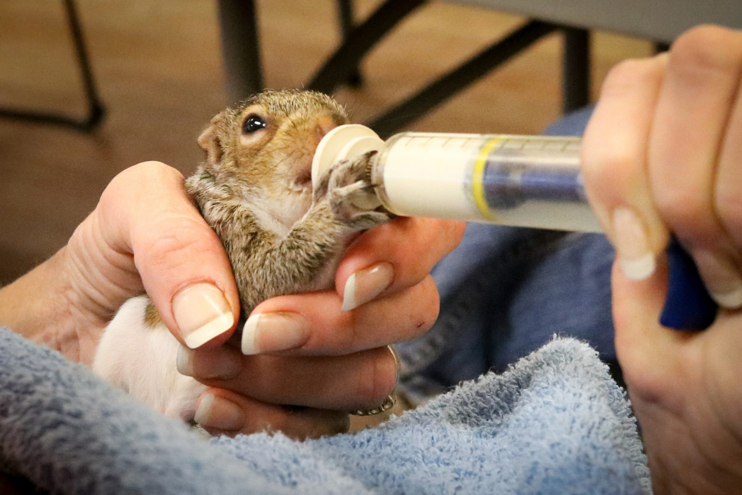 A rescued baby squirrel gets fed a powder formula, similar to its mother's milk, through a syringe. Photo courtesy of Evelyn's Wildlife Refuge via The Washington Post