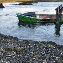 Wild mussels like these covering a South Harpswell shore in 2009 are among the many creatures vanishing from the coast as the ocean warms and grows more acidic. File photo/Gordon Chibroski