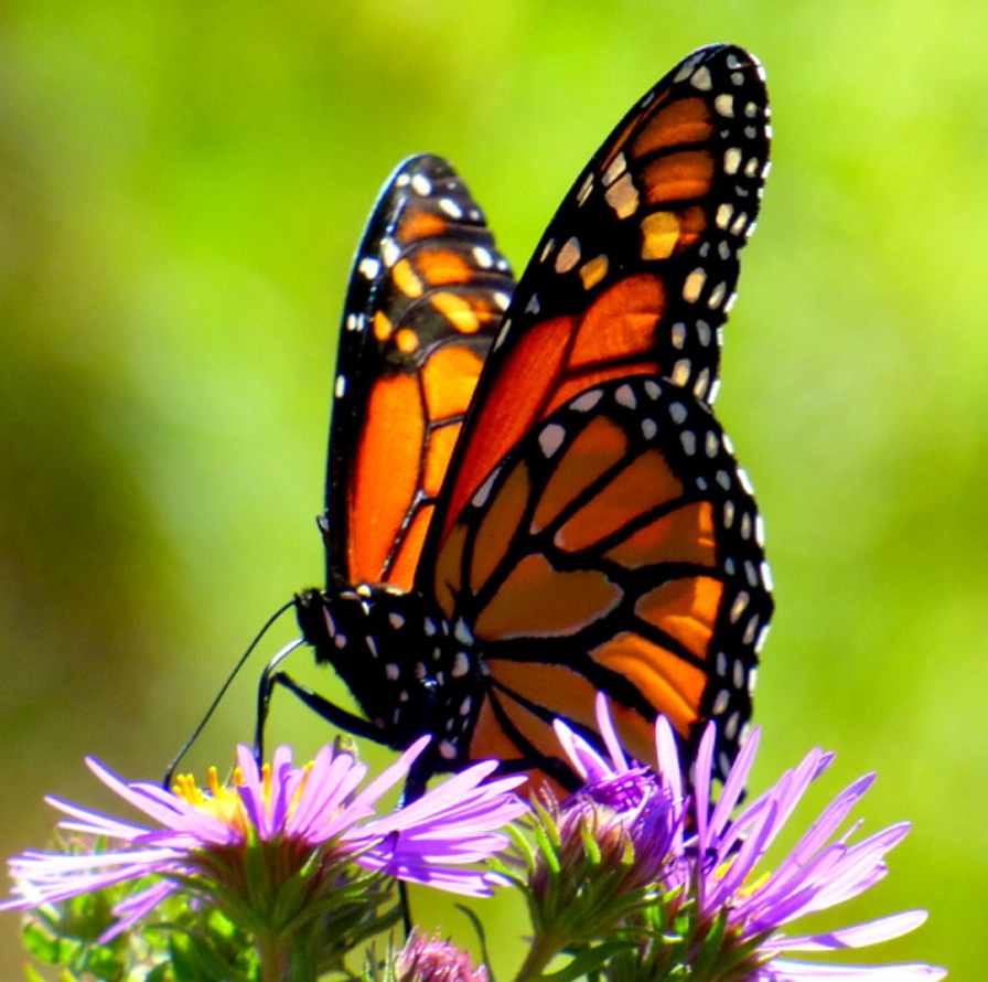 Its southbound migration imminent, a monarch butterly nourishes itself on flowers planted by volunteer caretakers on Biddeford's 110-acre Timber Point Trail where Brad Woodward of Old Orchard Beach was enjoying an early autumn walk.