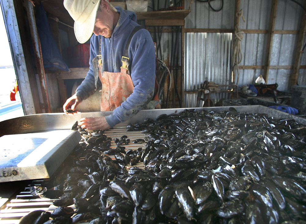 Bernie Sutherland sorts mussels in 2010 at Bangs Island Mussels on Casco Bay. A new market analysis says that the value of Maine's shellfish aquaculture industry will grow to $30 million a year by 2030.