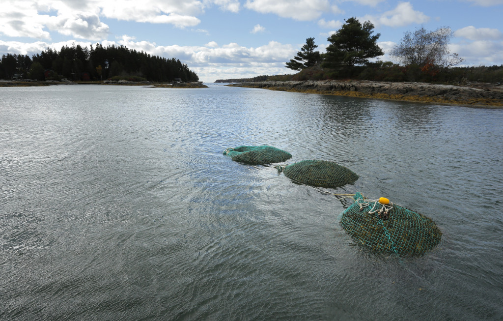 Full bags of rockweed sit in the water off Cundy's Harbor are waiting to be towed back to shore.