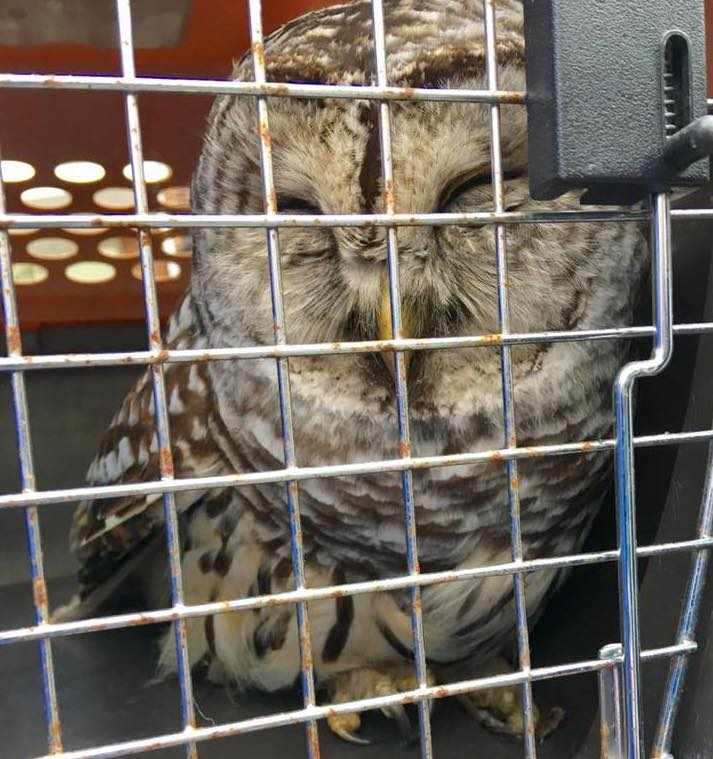 Brunswick police rescued an injured barred owl that a citizen spotted sitting on the side of Route 24 in Brunswick on Monday.