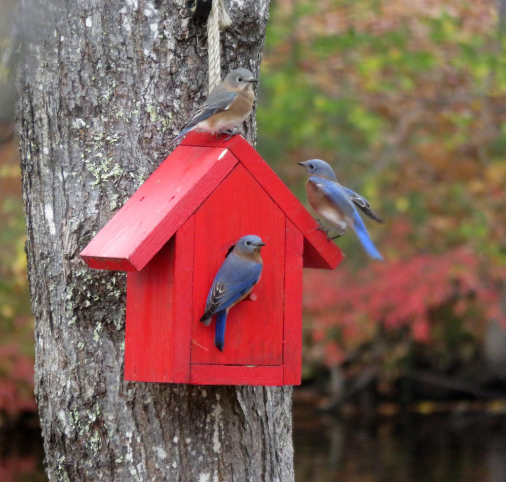 It's too late for these bluebirds to nest, so maybe they're scouting the red house in the Alfred yard of Cathy Wilkie Conley as a possible roost for next spring.