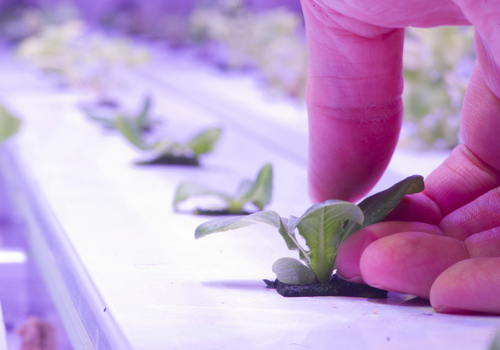 Arctic Greens grows various types of produce inside an insulated, 40-foot shipping container equipped with glowing magenta LED lights.