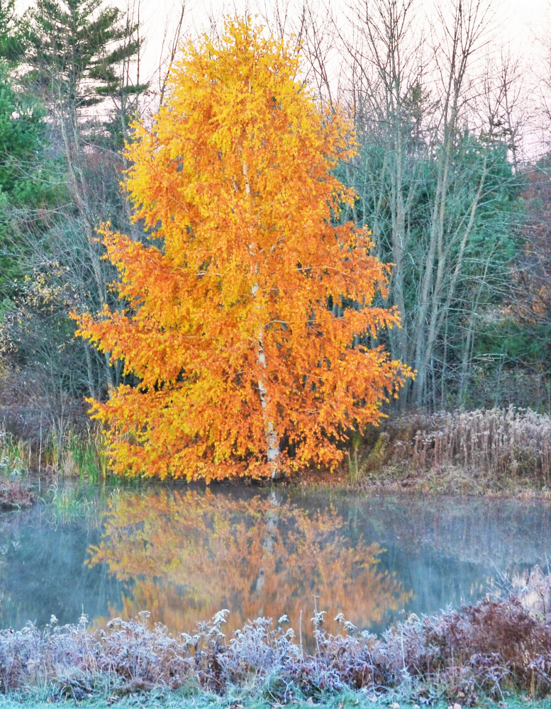 Through wind, rain and frost, this birch tree in the Scarborough backyard of Kelly Mull retained its vibrant color.