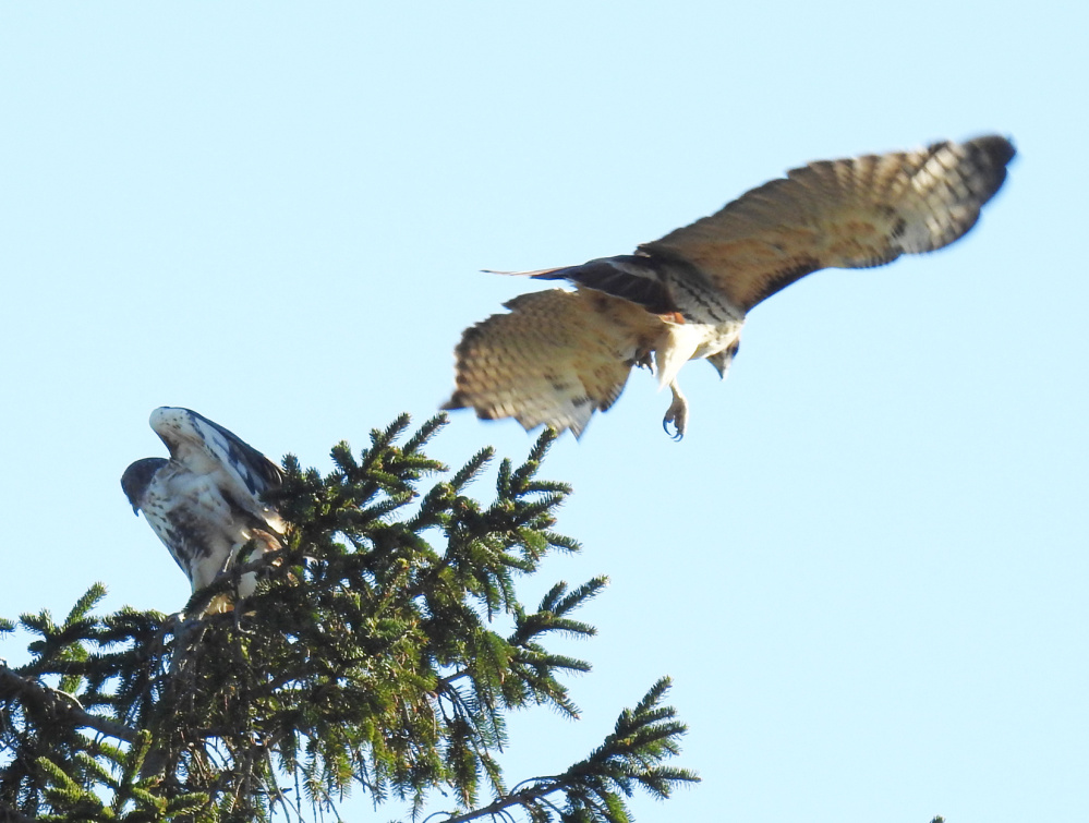 A pair of red-tailed hawks hover around the pines at Parsons Beach in Kennebunk, where Kennebunk resident Kristen Holmberg caught sight of them.