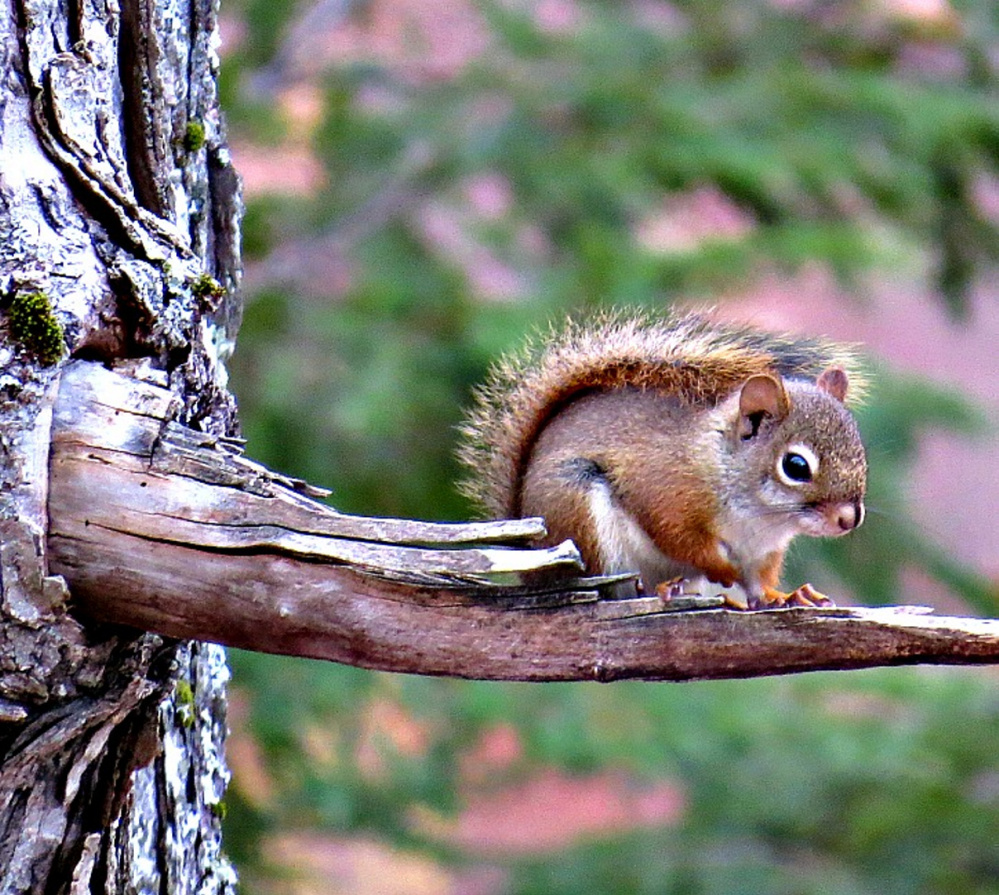 According to Joy Page of Sanford, this red squirrel is one of two that has made itself at home outside Page's house, enjoying the sunflower seeds that fall from the bird feeders.