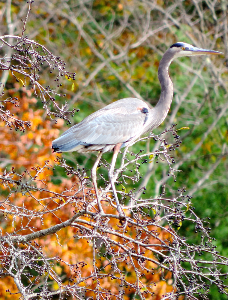 A blue heron perches delicately on a spindly bush at water's edge along the Mousam River.