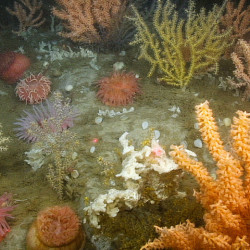 A coral garden thrives deep in the Gulf of Maine.