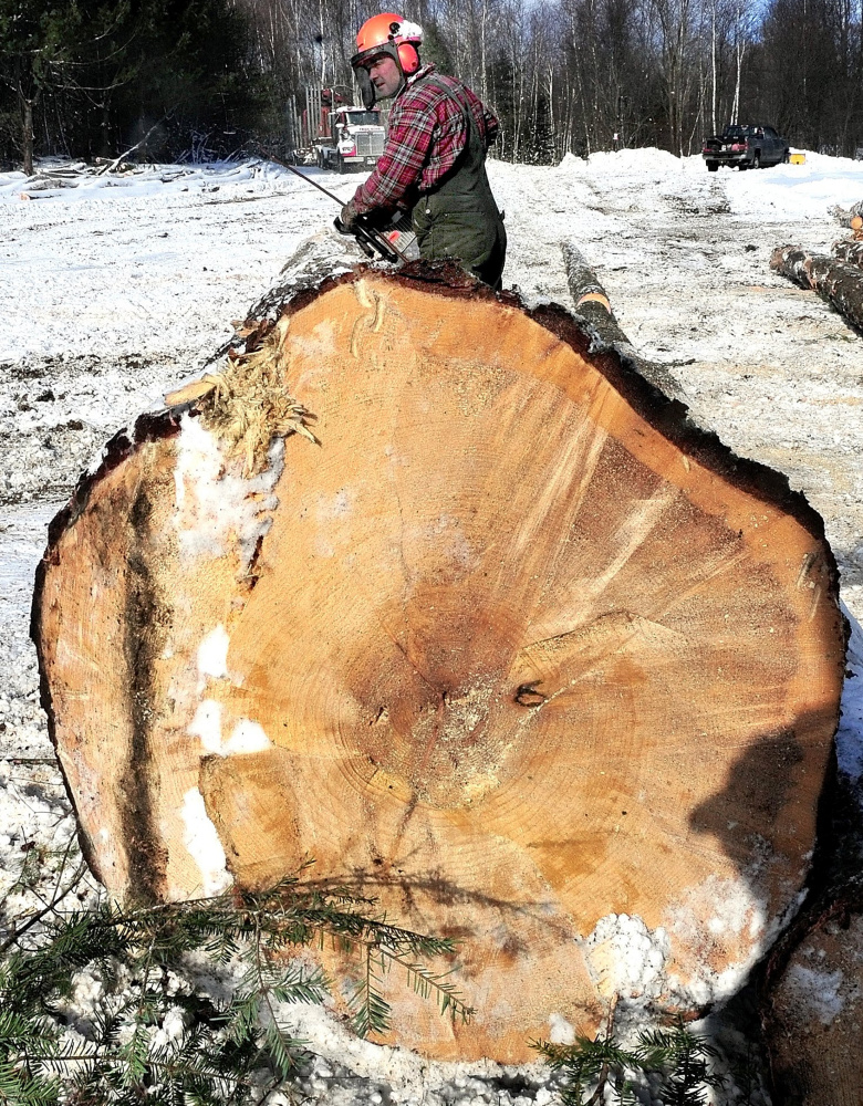 Robin Day cuts up a 50- foot pine log to be milled into boards at a woodlot in Oakland in 2015.