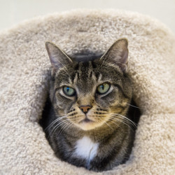 Yoda pokes his head from the cat furniture in one of the spacious playrooms at the new refuge facility. Most cats lived in kennels at the old shelter.