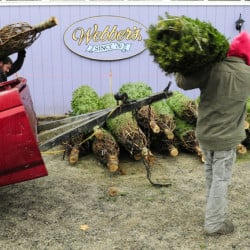 CAP.cutline_standalone:Paul Peaslee, left, and Randy Heath unload Christmas trees from a trailer as they set up Peaslee's tree stand on Friday on Main Street in Farmingdale. Peaslee said that his family has been selling wreathes and trees from the Webber's Ice Cream parking lot for more than 20 years.