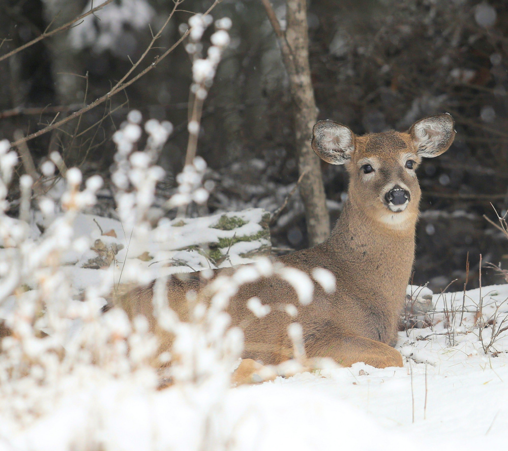A young deer finds a comfortable resting spot in Weld, and doesn't seem too disturbed by Jim Knox's camera.