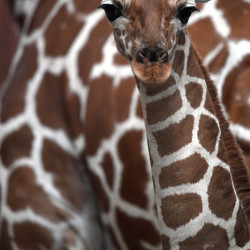 A Somali giraffe born Nov. 27, stands in front of its mother in the Cologne zoo on Thursday. Giraffes are undergoing a 'silent extinction,' two biologists say.