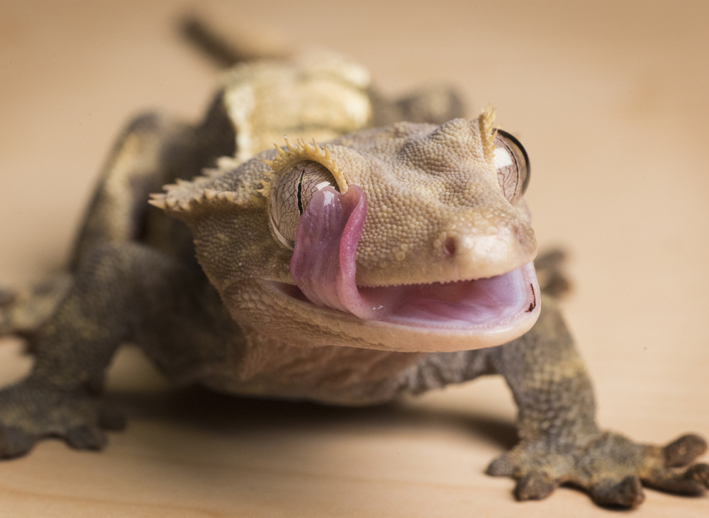 A crested gecko uses its tongue to clean its eye while resting on a table. There are 11 geckos on the state's current list of permissible lizards but just four on the draft of an updated list.