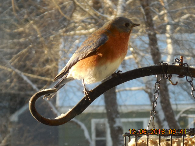 A bluebird in Cumberland ME   Dick Maloon