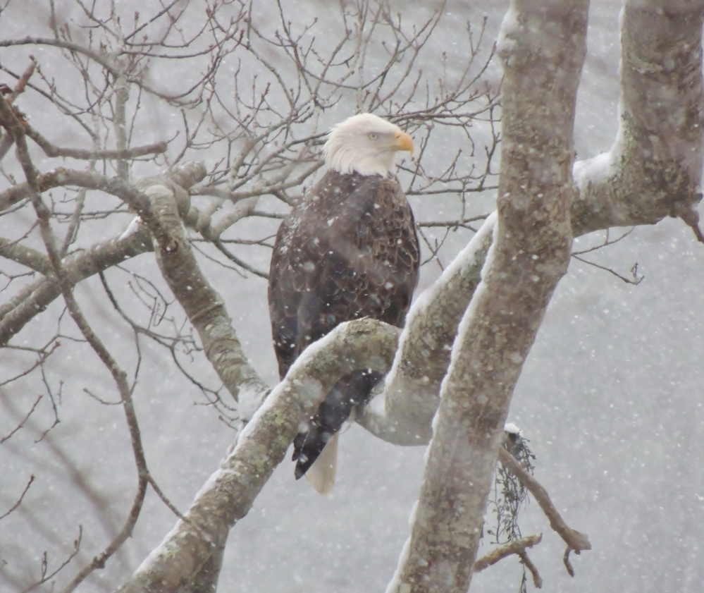 This eagle weathered a snowstorm in Harpswell for more than three hours, keeping its eyes peeled in hopes of spotting a meal along Ewing Narrows, where local Carol Fetters was able to get a photograph of the bird's striking visage.