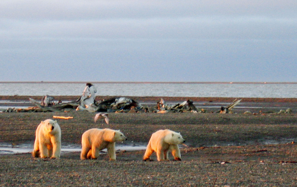 The Alaskan coastal plain is critical to wildlife, and arguments for keeping out the oil industry have an added edge as the Arctic undergoes new stresses from climate change. President-elect Donald Trump would disagree.